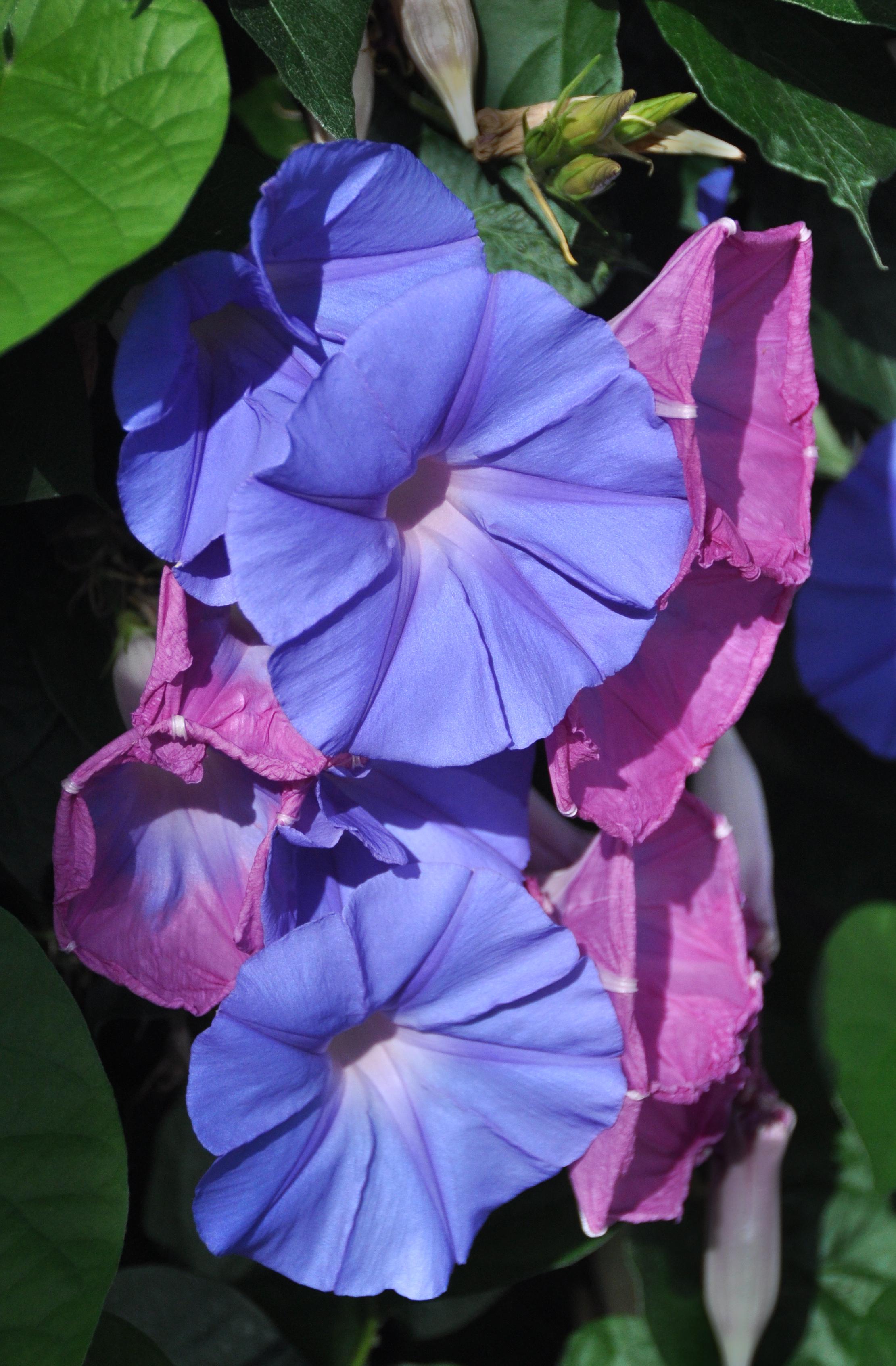 Blue dawn flower longwood gardens blue dawn flower izmirmasajfo
