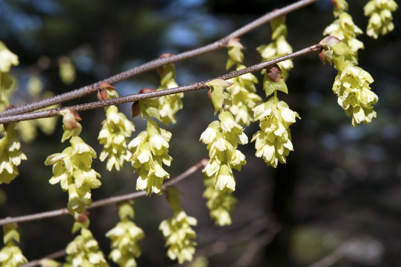 Corylopsis glabrescens 'Longwood Chimes'