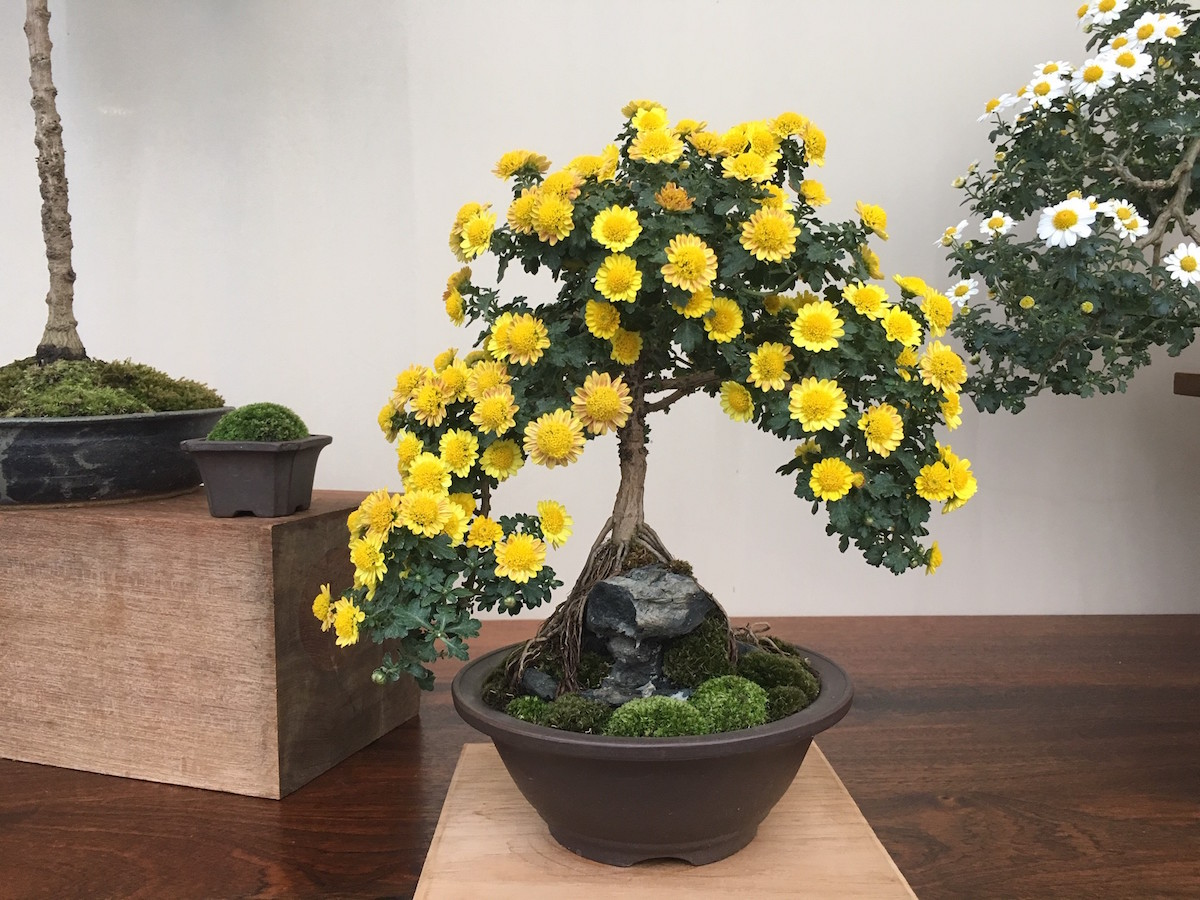 This 'Seigi' bonsai has been grown in a root-over-rock style. Photo by Kevin Bielicki.