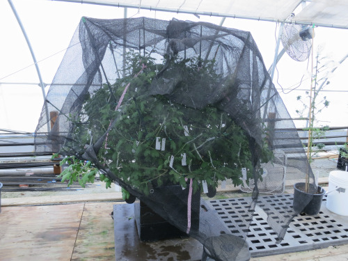 The grafted mum is kept under shade and misted to insure the grafts do not dry out