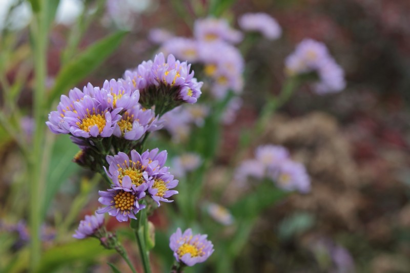 Aster tataricus blooming in our Hillside Garden. According to our database, this plant typically flowers from September into November.