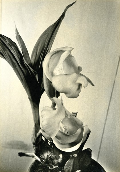 This photograph—a black-and-white silver gelatin print—of Anguloa clowesii was taken for Ethel du Pont by Gottlieb Hampfler in 1940.