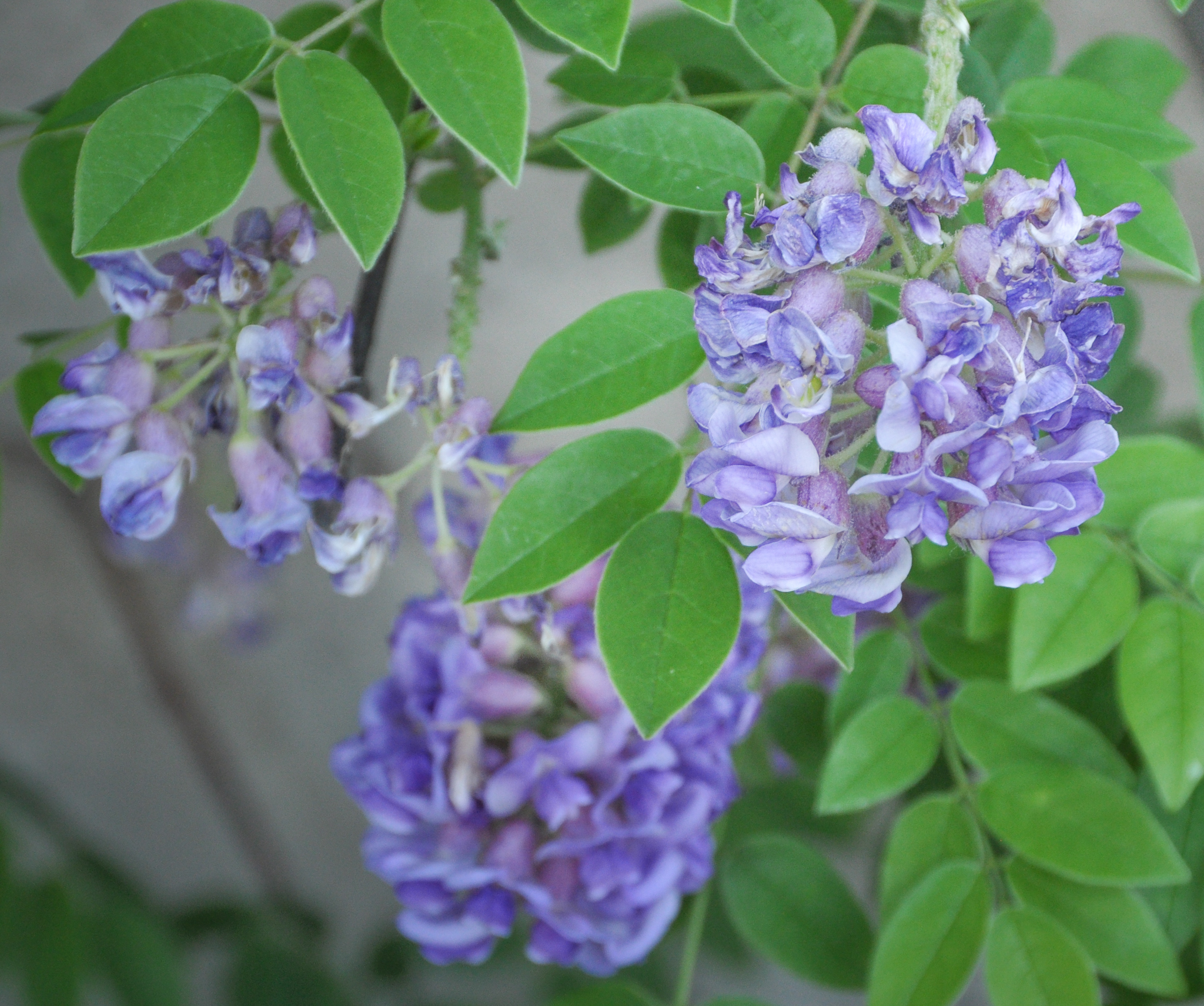 Wisteria frutescens 'Longwood Purple'