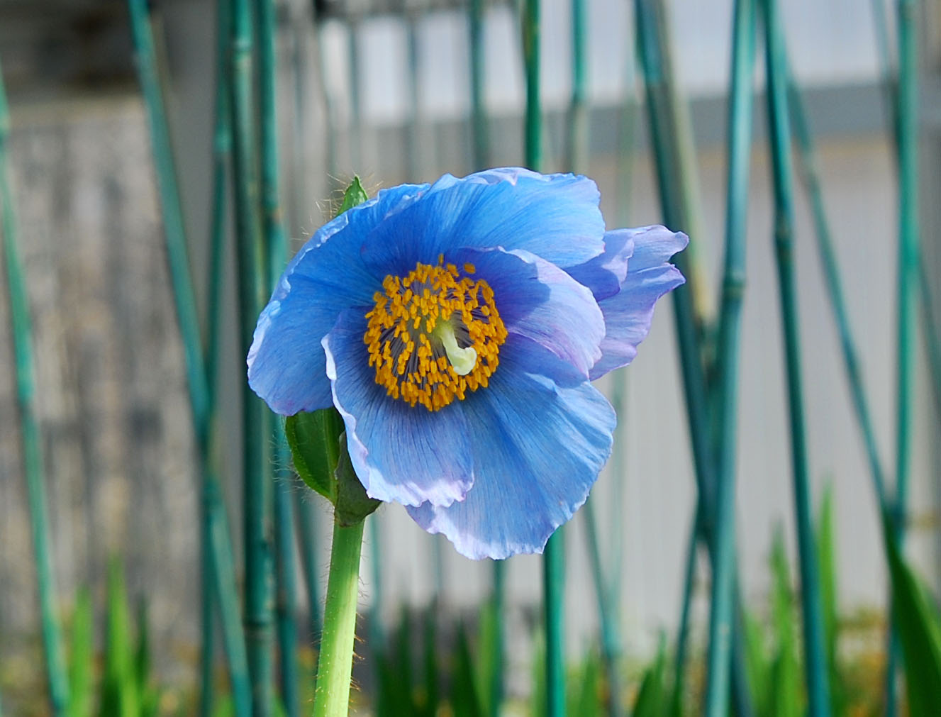 A blue-poppy in bloom in the production greenhouse