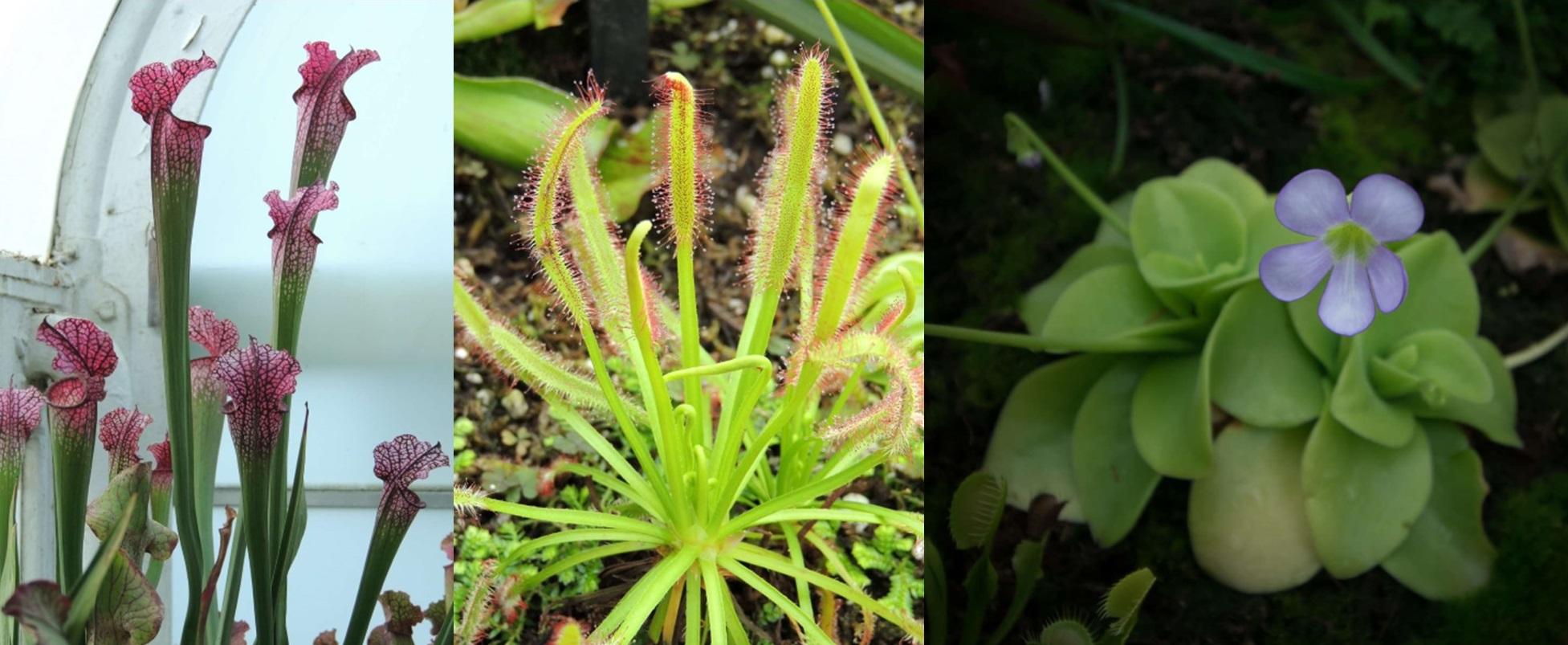 Left: Sarracenia (North American pitcher-plant) in a 2013 photo. Center: Drosera capensis (Cape sundew) in a 2013 photo. Left: Pinguicula primuliflora (southern butterwort) in a 2019 photo. All photos were taken in our Fern Passage. Left and center photos by Cathy Matos; right photo by Duane Erdmann.