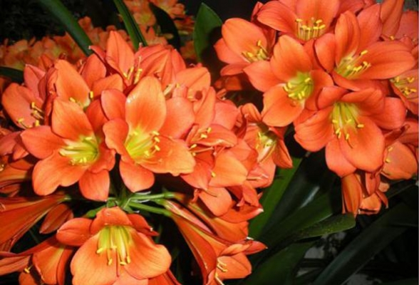 How to Make Your Clivia a Blooming Winner Longwood Gardens