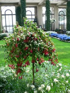 Fuchsia standard in the Conservatory
