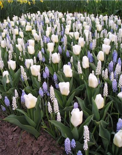Combination trial planted with Tulipa 'Calgary', Muscari 'Album' and Muscari 'Valerie Finnis'.