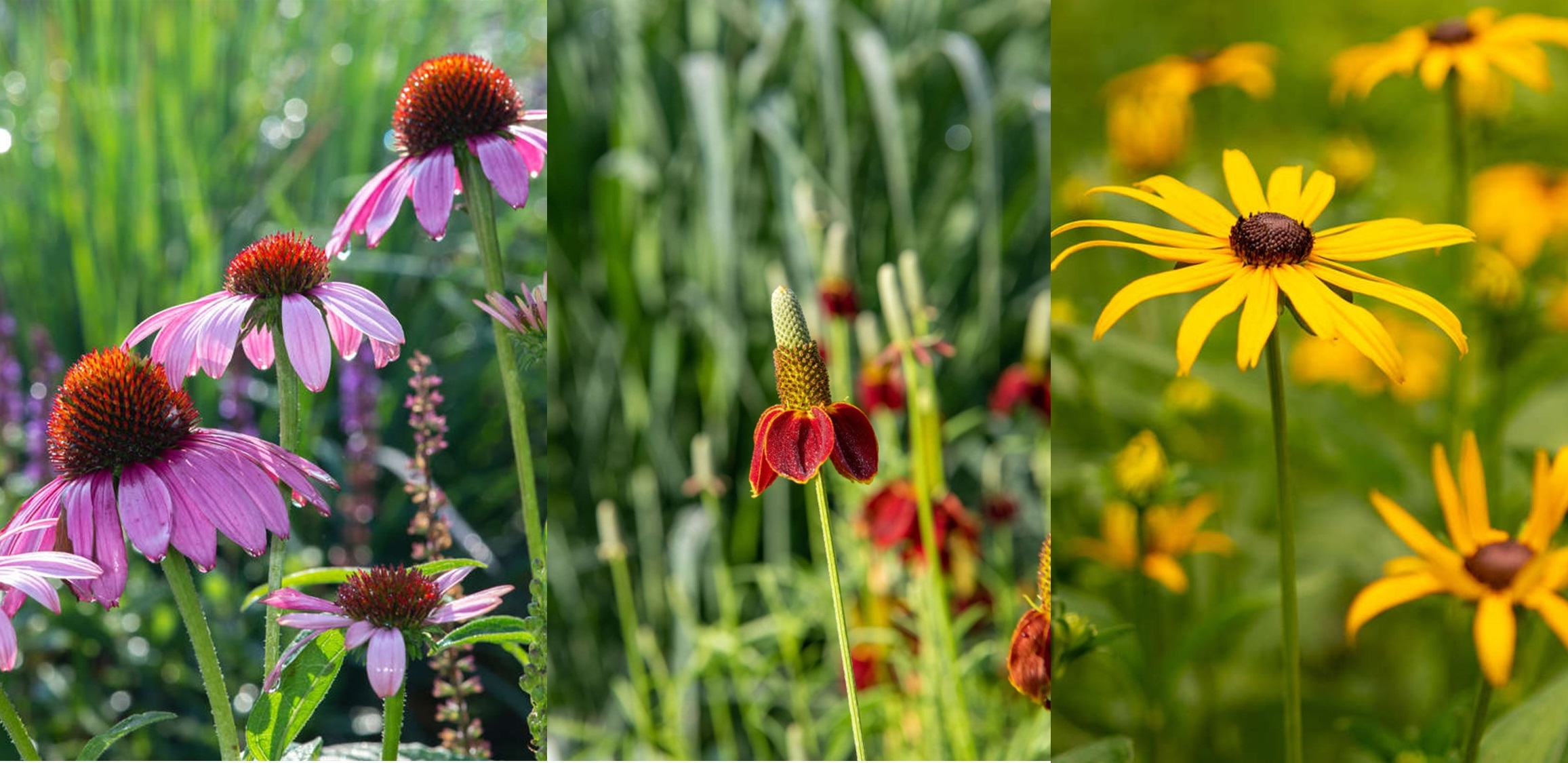 Echinacea (Photo by William Hill), Ratibida (Photo by Hank Davis), and Rudbeckia (Photo by Carol DeGuiseppi) are three different plants, all considered coneflowers.
